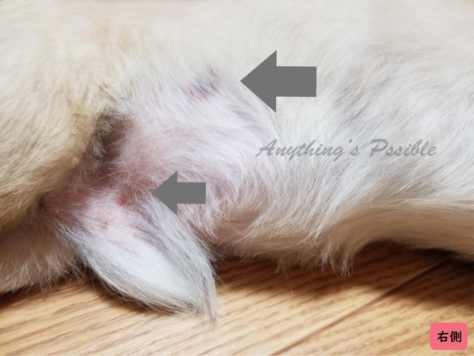 犬の血小板減少症における打ち身のような赤い痣3