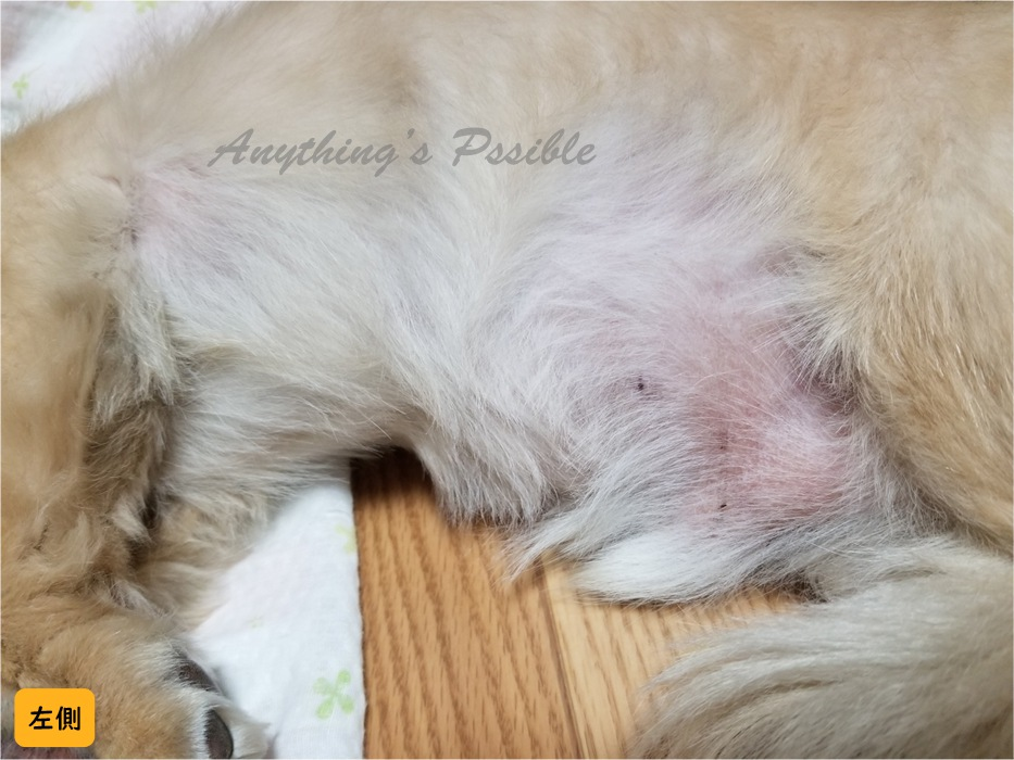 犬の血小板減少症における打ち身のような赤い痣9